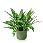 Chinese Evergreen 6""