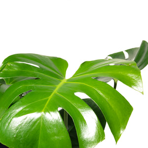 Load image into Gallery viewer, Monstera 10""