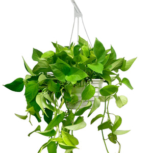 "Load image into Gallery viewer, Neon Pothos 8"" HB"