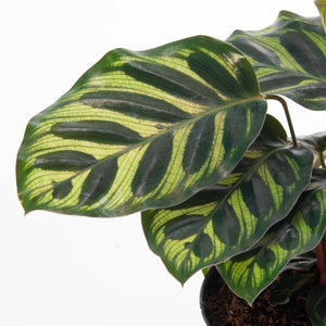 Load image into Gallery viewer, Calathea Peacock 6""