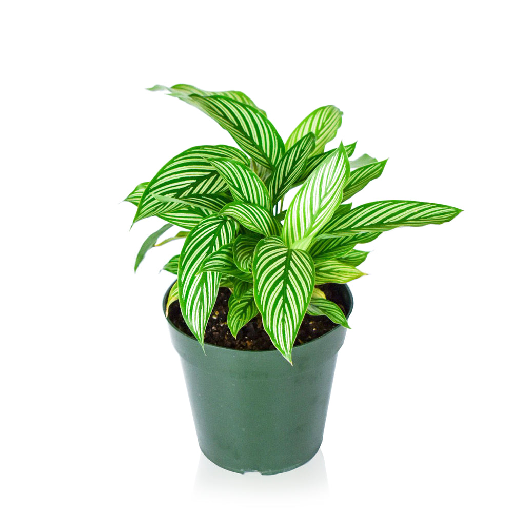 Load image into Gallery viewer, Calathea Vittata 6""