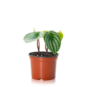 Load image into Gallery viewer, Watermelon Peperomia  4""