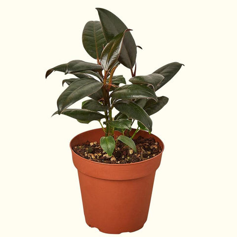 Rubber Plant for Sale