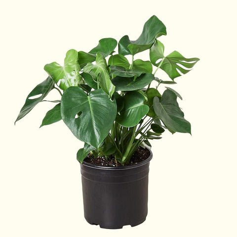 Monstera for sale