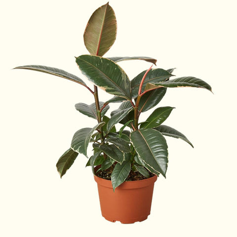 Ficus Rubber Tree for sale online