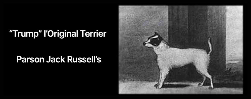Parson Jack Russell's Original Terrier - Boutique Jack Russell