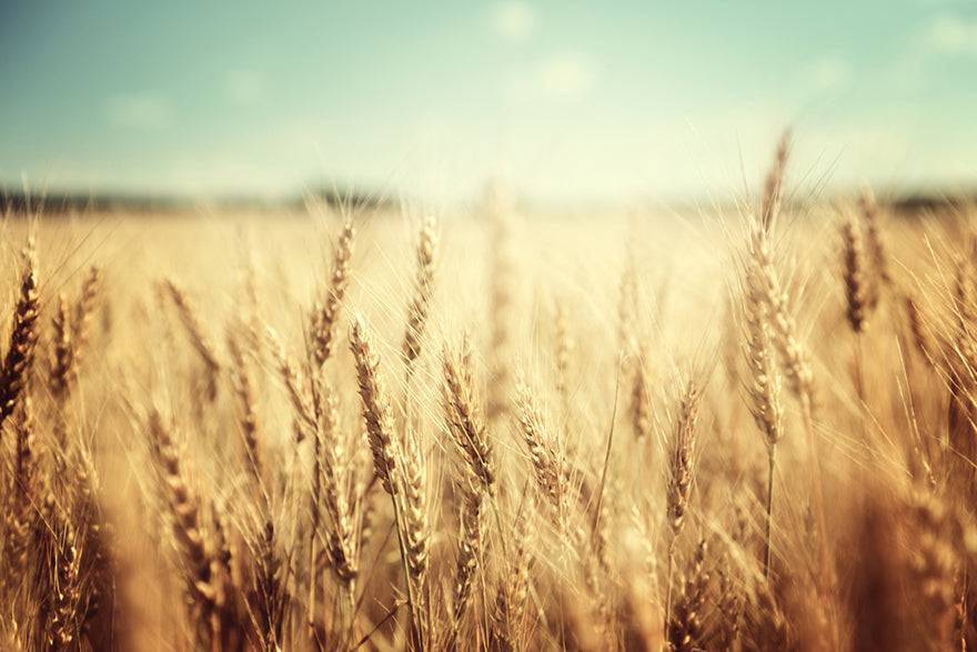 a field of wheat stretching to the sunset