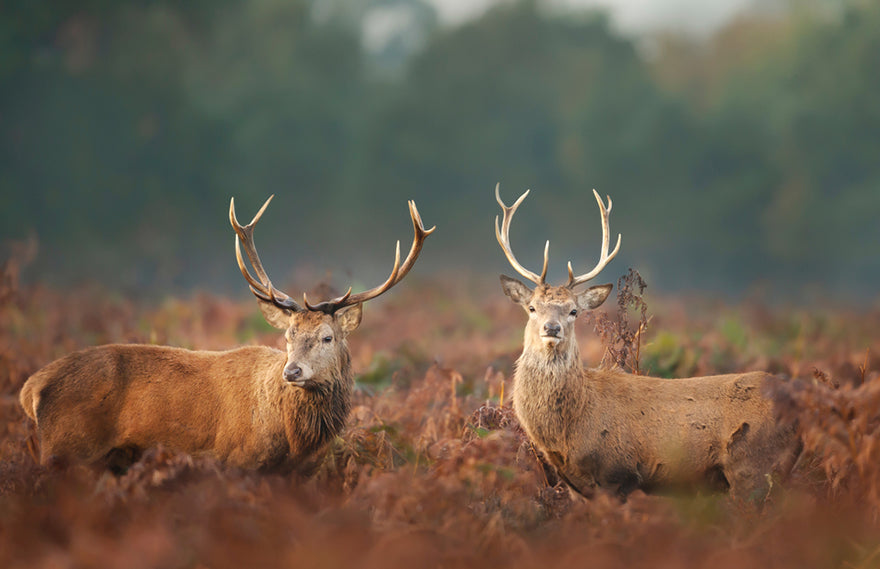 a pair of stags in a field
