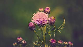 image of a thistle plant