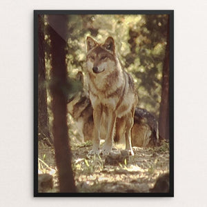 "The Wolves of La Michilia Biosphere Reserve, Durango, Mexico by Mills Tandy 12"" by 16"" Print / Framed Print Join the Pack"