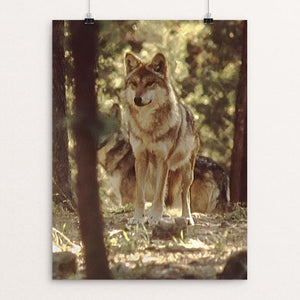 "The Wolves of La Michilia Biosphere Reserve, Durango, Mexico by Mills Tandy 12"" by 16"" Print / Unframed Print Join the Pack"