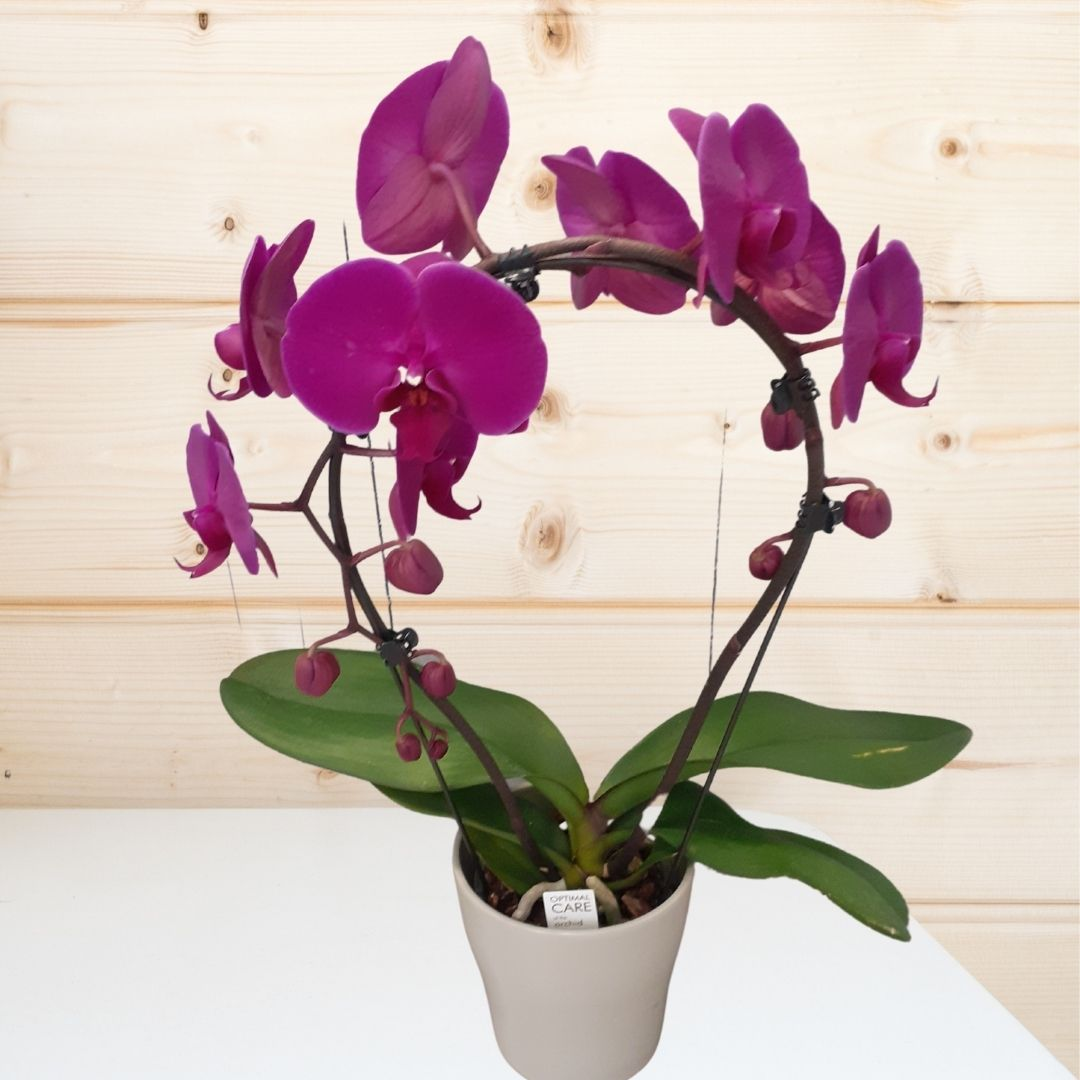 Orchid Plant in Ceramic Pot - Purple