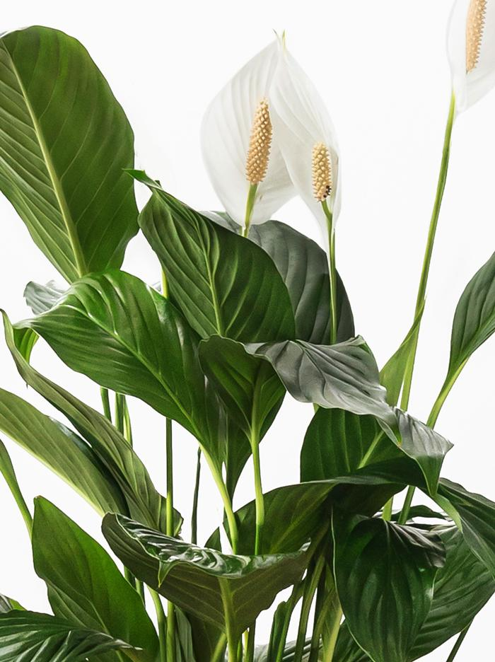 Peace Lily Plant Leaves
