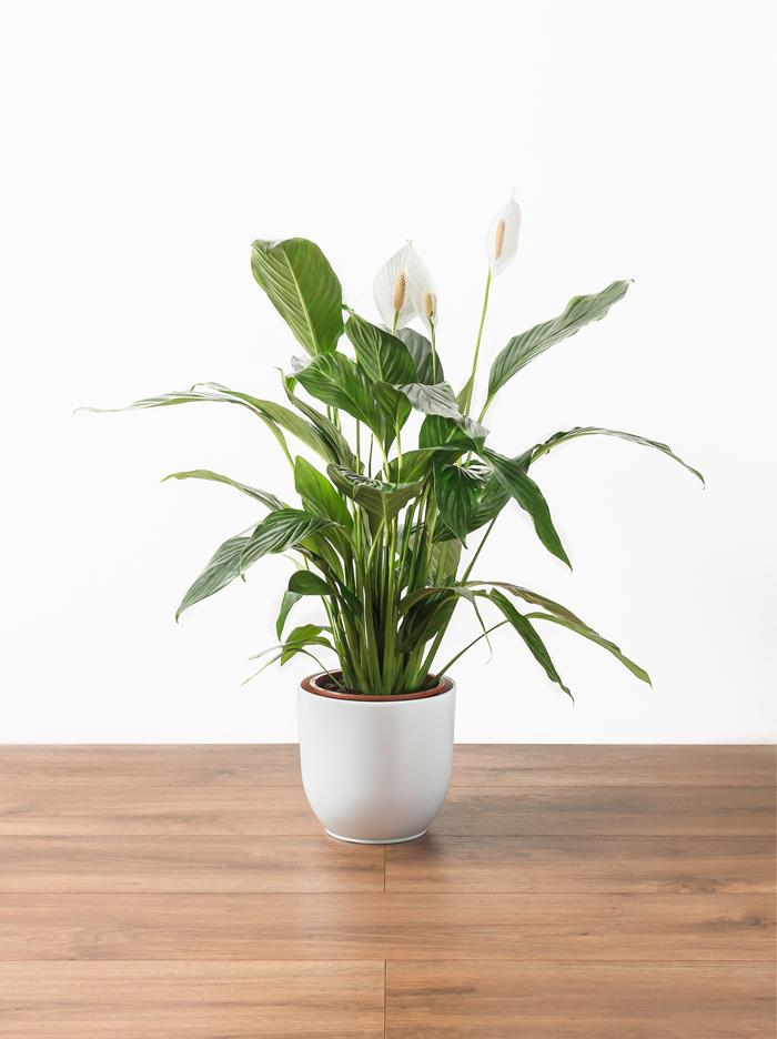 Peace Lily Plant Online
