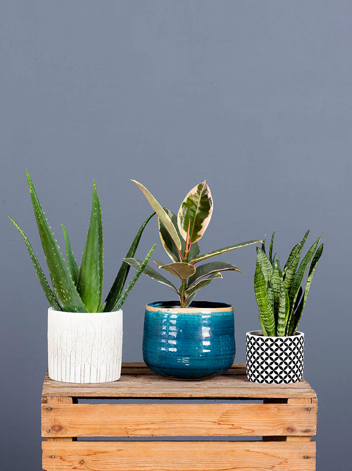 Easy Care Kit Aloe Rubber Snake Plant