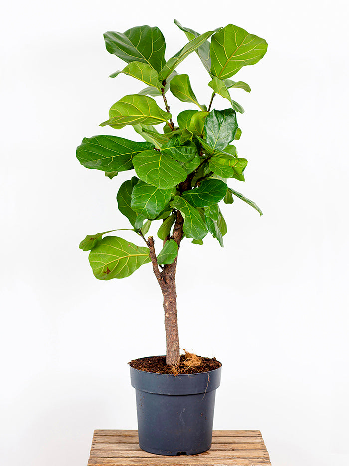 Fiddle Leaf Fig Plant in Nursery Pot
