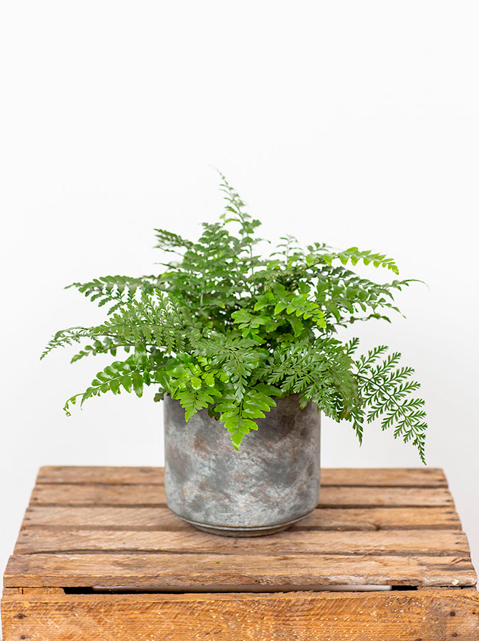 Mother Fern in Tivoli Pot