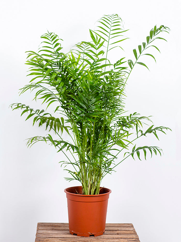 Parlour Palm in Nursery Pot