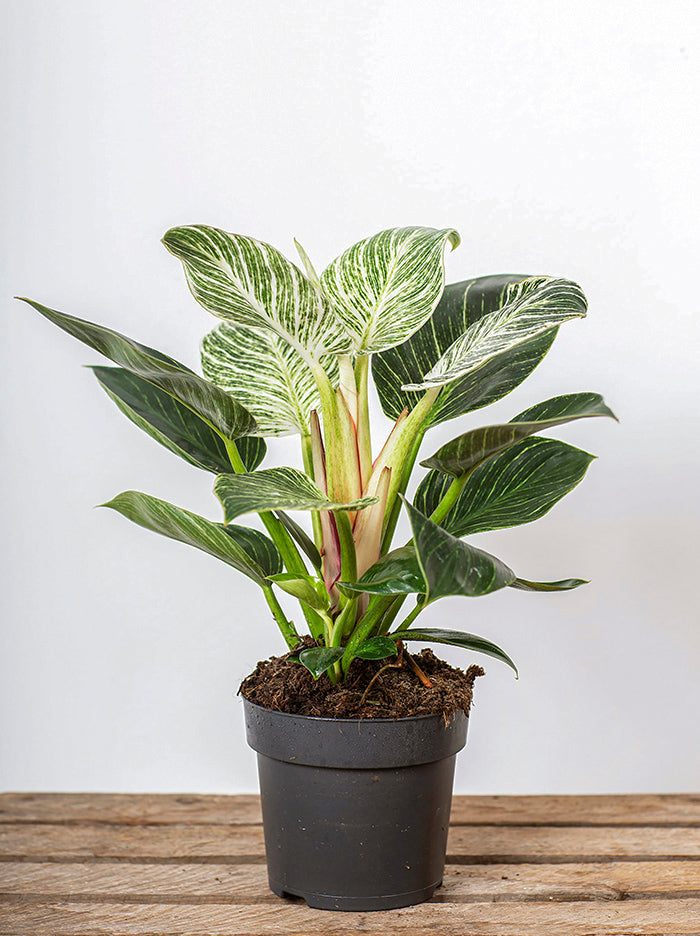 Philodendron White Measure in Nursery Pot