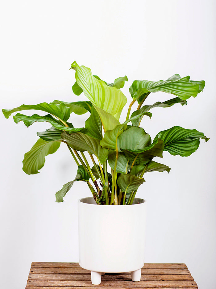 Prayer Plant Calathea Orbifolia Pot