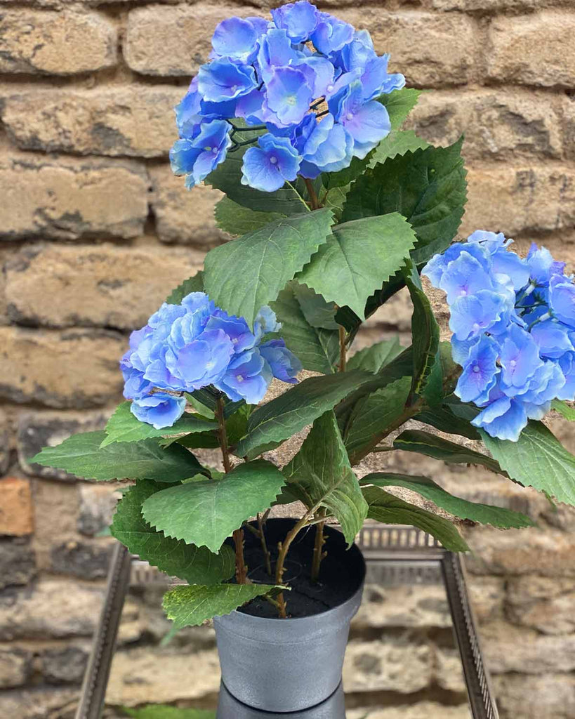 Black potted hydrangea with cornflower blue flowers and green leaves.