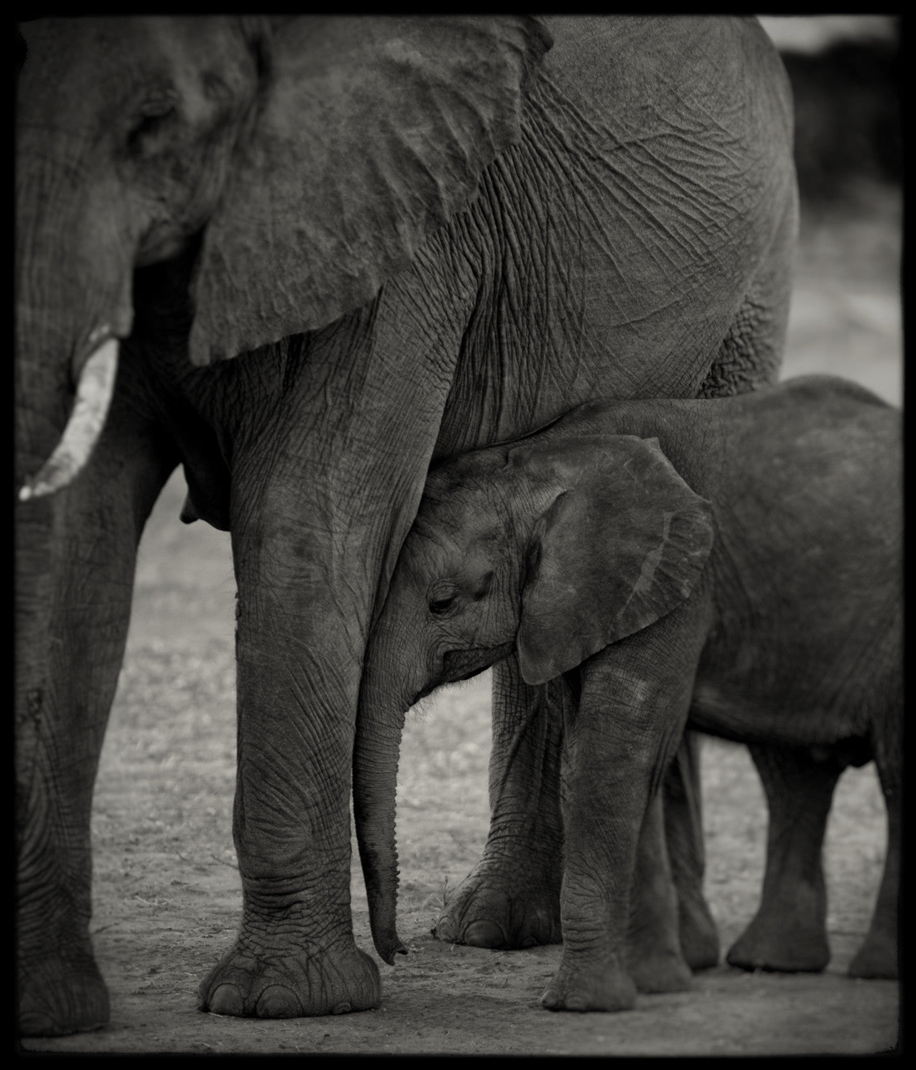 Christopher Rimmer 'Elephant and Calf, Botswana' - Archival pigment print on paper