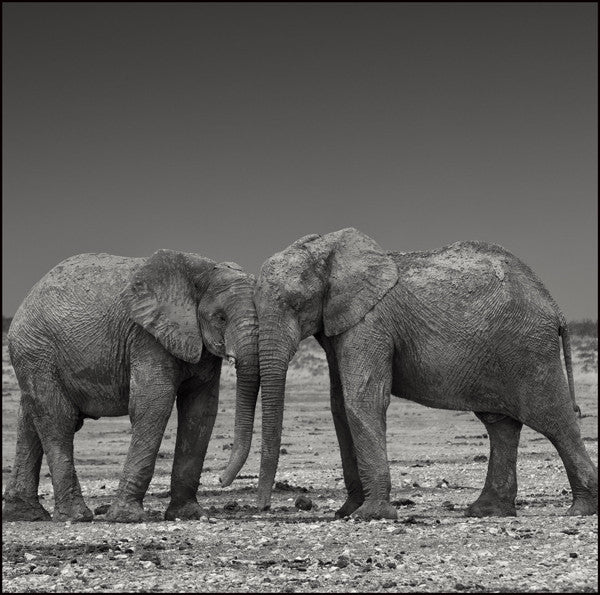 Christopher Rimmer 'Elephants at Etosha No 3 ' - Archival pigment print on paper