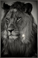 Christopher Rimmer 'Lion at Lataba - South Africa' - Archival pigment print on paper