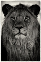 Christopher Rimmer 'Lowveld Lion - South Africa' - Archival pigment print on paper