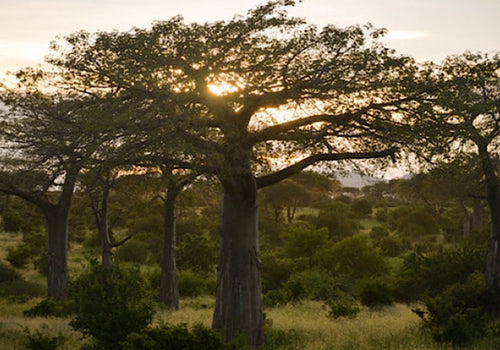 Baobab Tree on the African plains