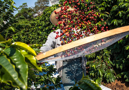 A coffee picker in Columbia with fresh coffee pods