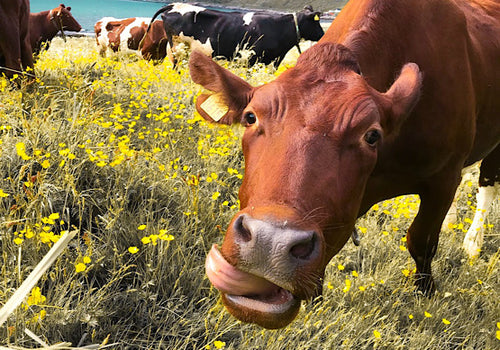 A dairy cow sticks her tongue out