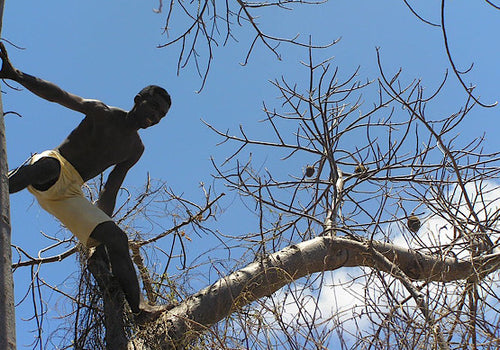 A worker collects Baobab fruit in Africa