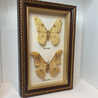 Silk Moth Antique Taxidermy