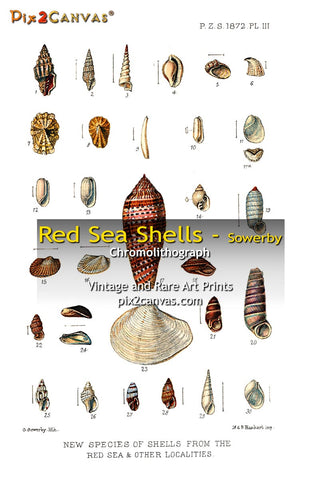 Red Sea Shell Collection - Sowerby