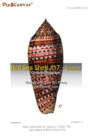 Red Sea Shell #17 - Sowerby