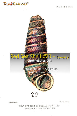 Red Sea Shell #20 - Sowerby