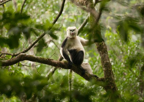 FFI - Vietnam's primates on edge of distinction