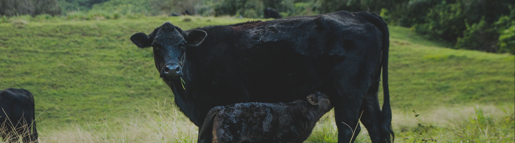 Wagyu cow with calve