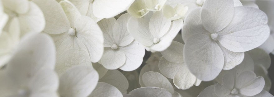 close up of blooming white hydrangea flower