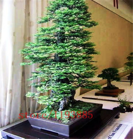 100pcs/bag Coast Redwood Seeds Sequoia sempervirens Bonsai tree ,tree seeds,Decoration plants for home garden - TheOldJunkTrunk