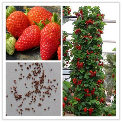 100% farmer Direct Selling Indoor Plants Strawberry Seeds & Rare Color Strawberry Seed Fruit Seeds for Garden Bonsai  100 seeds - TheOldJunkTrunk