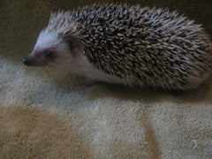 Breeding Hedgehog - Half Masked Pattern