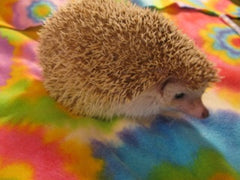 Breeding Hedgehog - Brown/Chocolate