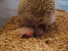 Breeding Hedgehog - Chocolate with very lite snowflaking