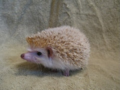 Breeding Hedgehog - Black-Eyed Cinnicot