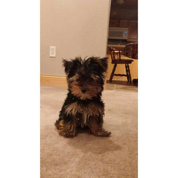 Biewer Yorkshire Terrier-Crazy Critters