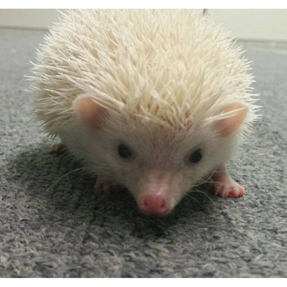 Hedgehog ~ Male-Crazy Critters