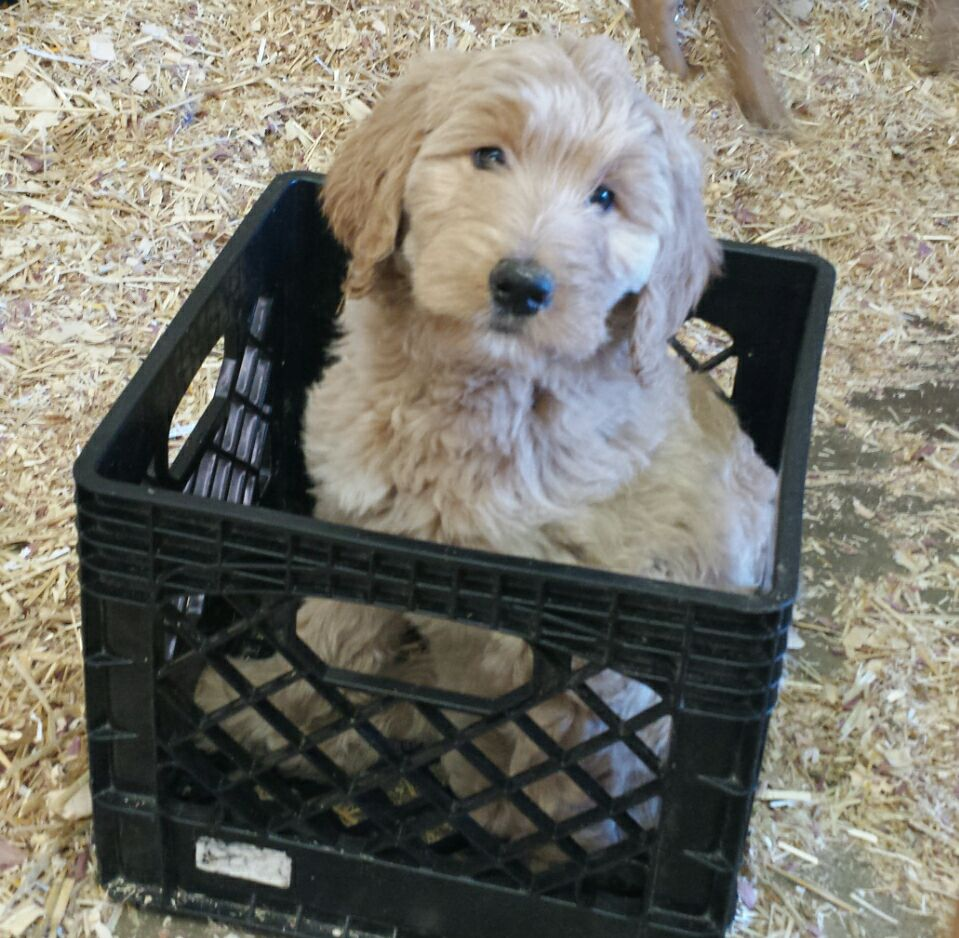 Goldendoodle 2nd Gen