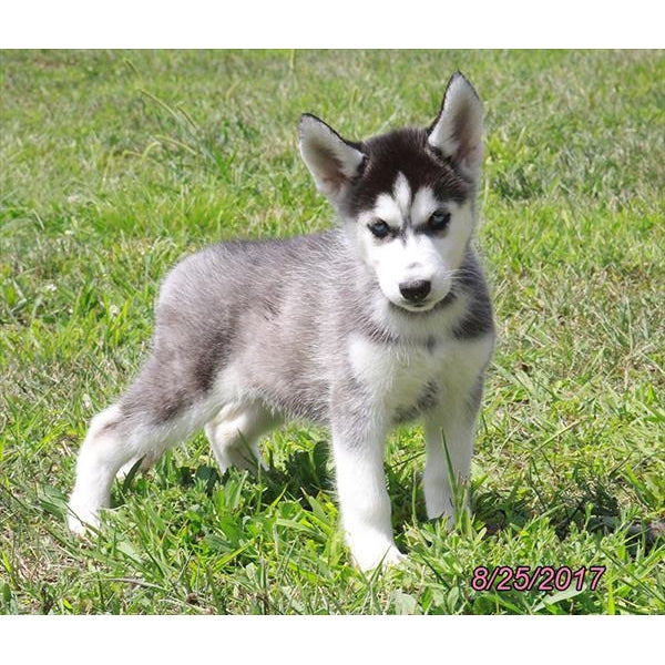 Siberian Husky-Crazy Critters